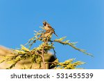 two sparrows perched on a... | Shutterstock . vector #531455539