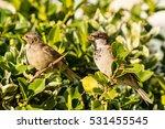 sparrow on a bush f passeridae... | Shutterstock . vector #531455545