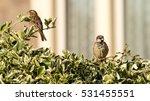 sparrow on a bush d passeridae... | Shutterstock . vector #531455551