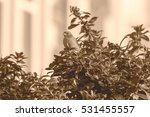 sparrow on a bush g passeridae... | Shutterstock . vector #531455557