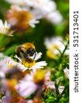 Big Bumblebee On Morning Summer ...