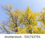 Ginkgo Tree  Ginkgo Biloba  In...