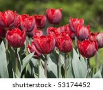 Pink  Double Flowered Tulips I...