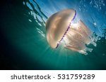 Barrel Jellyfish In...