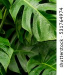 philodendron monstera leafs...   Shutterstock . vector #531764974