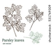 parsley leaves. drawing made... | Shutterstock .eps vector #531769309