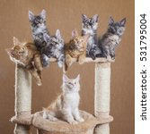 Stock photo maine coon kittens 531795004