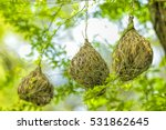 Weaver Bird Nest At A Branch O...