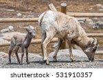 A Very Young Bighorn Sheep Kid...