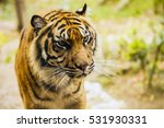 bengal tiger in captivity at... | Shutterstock . vector #531930331