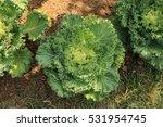 flowering cabbage or ornamental ... | Shutterstock . vector #531954745
