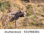 striped hyena  hyaena hyaena ... | Shutterstock . vector #531988381