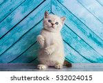 Stock photo kitten scottish straight 532024015
