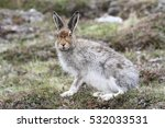 Stock photo a beautiful mountain hare lepus timidus in the highlands of scotland 532033531