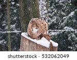 lynx sitting on snow covered... | Shutterstock . vector #532062049