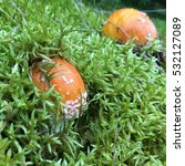 Small photo of Amanita muscaria in green moss