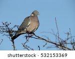 Wood pigeon, Columba palumbus, Single bird on branch,  Warwickshire, December 2016