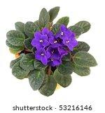 African Violet Saintpaulia