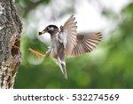 Starling   Feeding  Mother Bir...