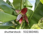 Banana Flower  Banana Is...