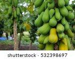 Plantation Of Papaya Trees In...
