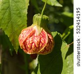 Small photo of Abutilon 'Tiger Stripes' (Flowering Maple) in a Country Cottage garden in Rural Devon, England, UK