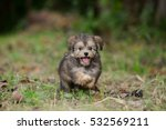 shih tzu mix pomeranian puppy... | Shutterstock . vector #532569211