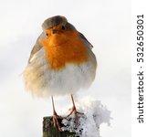european robin  erithacus... | Shutterstock . vector #532650301