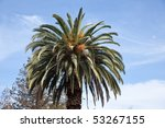 california fan palm ... | Shutterstock . vector #53267155