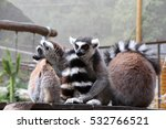 Three Ring Tailed Lemurs Enjoy...