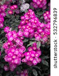 Small photo of Pink, magenta, red Rose 'Kiftsgate Violet' ambler rose