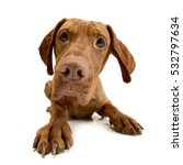 Stock photo studio shot of an adorable hungarian vizsla lying on white background 532797634