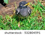 Indian Mynah Baby Chick