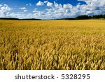 Ripe wheat field - stock photo