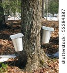 Aluminum Buckets On Maple Tree...