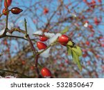 wild rose red berry bush and... | Shutterstock . vector #532850647