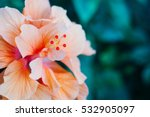 Orange Hibiscus Flower In...