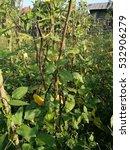 Small photo of Yard long bean, long bean, long bean trees, long bean garden, vegetable