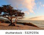 Monterey Cypress  Cupressus...