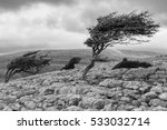 Wind Blown Tree  Twistleton...