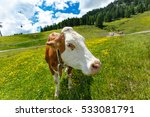 curious cow looking at camera... | Shutterstock . vector #533081791