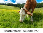 curious cow eating grass on... | Shutterstock . vector #533081797