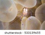 Shrimp On The Bubble Coral