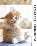 Stock photo puppy cat of siberian breed on the scratching post red version 533154151