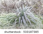 Small photo of Yucca plant covered with morning frost in organic farm. Tropical green kind of cactus or palm Agavaceae under snow.