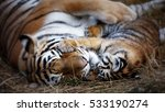 Tigress With Cub. Tiger Mother...