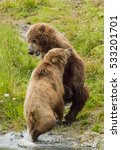Small photo of two yearling Kodiak bear cubs fighting on a river bank