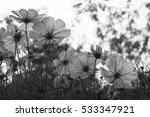 cosmos flowers at sunset in... | Shutterstock . vector #533347921