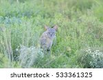 Small photo of AFRICAN WILD CAT (Felis libyca) in the Kalahari desert, South Africa