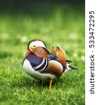Small photo of Mandarin duck on green grass. (Aix galericulata)